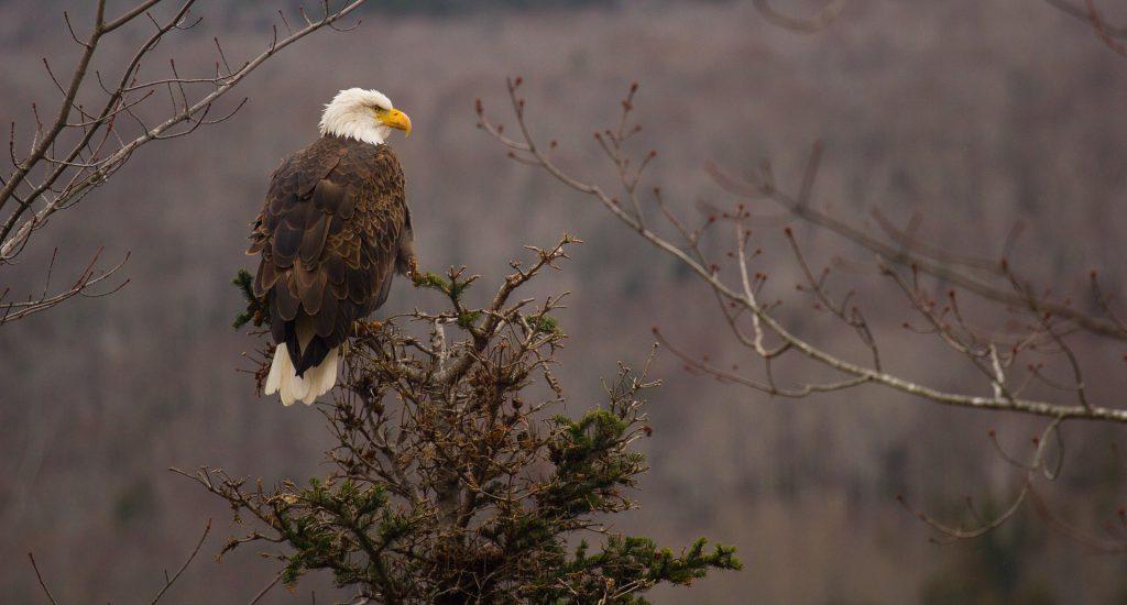 bald-eagle-801614_1920